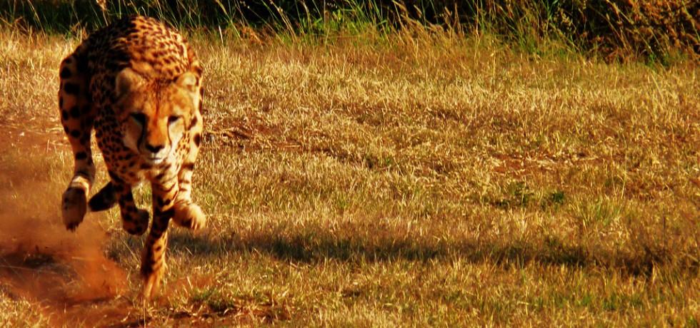 Cheetah Run by David Siu